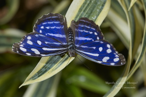 Myscelia cyaniris (Mexique , Costa-Rica)